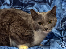 A beautiful gray cat with white Royalty Free Stock Photos