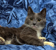 A beautiful gray cat with white Stock Photo