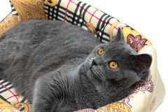 Beautiful gray cat with yellow eyes closeup Stock Photos