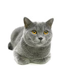Beautiful gray cat with yellow eyes isolated on a white backgrou Royalty Free Stock Image