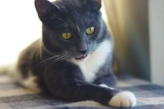 A beautiful gray cat with yellow eyes made a strange face stock photo