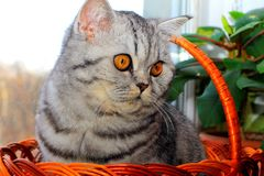 A beautiful gray cat with yellow eyes sits in a basket Royalty Free Stock Photography