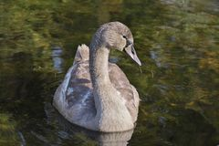 Beautiful gray colored Cygnus olor mute swan, Hockerschwan juvenile swimming in the lake on a warm and sunny autumn day with wat. Horizontal close-up image in royalty free stock photography
