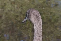 Beautiful gray colored Cygnus olor mute swan, Hockerschwan juvenile swimming in the lake on a warm and sunny autumn day with wat. Horizontal close-up portrait stock photo