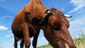 Beautiful Gray Cow Grazing on Meadow and Smelling the Camera on Sky Background. Slow Motion stock footage
