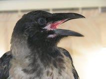 Beautiful gray crow opened the beak. Ravens are on vacation. I Put something in its beak stock image