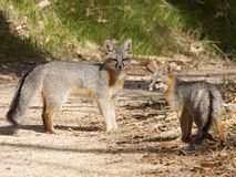 Grey fox parent and child looking back at photographer stock image