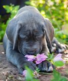 Gray Great Dane dog puppy sniffs a flower outdoor. Beautiful Gray Great Dane dog puppy sniffs a flower outside on walk Royalty Free Stock Photos