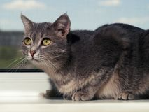 A beautiful gray green-eyed cat with black and white stripes lies on the windowsill and looks a little away from the royalty free stock images