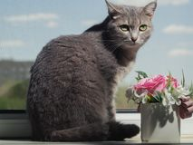 A beautiful gray green-eyed cat with black and white stripes lies on the windowsill and looks a little away from the camera. stock photos
