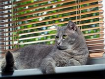 A beautiful gray green-eyed cat with black and white stripes lies on the windowsill and looks a little away from the camera. stock photography