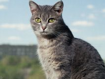 A beautiful gray green-eyed cat with black and white stripes sits on the windowsill and looks into the camera. Against royalty free stock photo