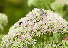 Beautiful Gray Hairstreak Butterfly on Flowers. Beautiful Gray Hairstreak Butterfly, Strymon melinus pudica, on Sedum Flower Blooms royalty free stock photography