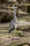 Beautiful gray heron at zoo in Berlin Royalty Free Stock Photography