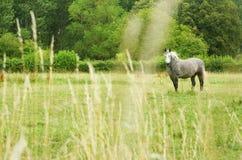 Beautiful gray horse Royalty Free Stock Image
