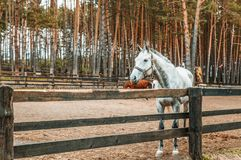 Beautiful gray horse in the arena behind a fence in a pine fores stock photo