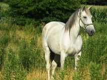 Beautiful Gray Horse, horizontal close crop Stock Photos