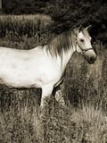 Beautiful Gray Horse in sepia Stock Images