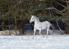 The beautiful gray horse trots on snow stock photography