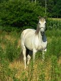 Beautiful Gray Horse, vertical orientation. Beautiful gray horse in meadow, facing and looking forward Royalty Free Stock Image