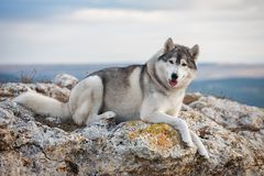 A beautiful gray husky lies on a rock covered with moss against a background of clouds and a blue sky and looks into the camera. Royalty Free Stock Image
