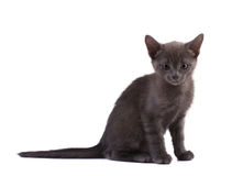 Beautiful gray kitten Stock Image