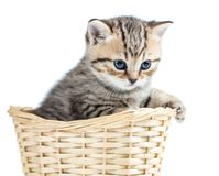 Beautiful gray kitten in basket isolated on white Royalty Free Stock Images