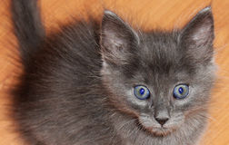 Beautiful gray kitten with blue eyes Royalty Free Stock Image