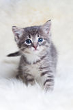 Beautiful gray kitten goes ahead Royalty Free Stock Image