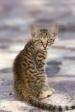 Beautiful gray kitten in a Greek island Royalty Free Stock Image