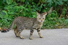 A small gray cat stands on the asphalt near the green vegetation Stock Photography