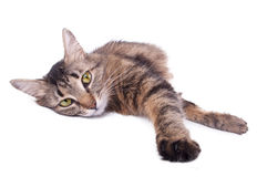 Beautiful gray mixed-breed cat relaxing Stock Photography