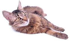 Beautiful gray mixed-breed pregnant cat relaxing Royalty Free Stock Photo