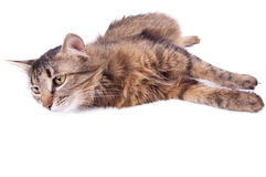Beautiful gray mixed-breed pregnant cat relaxing Stock Image