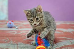 Gray mongrel kitten playing. stock image