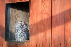 Beautiful gray owl on a wooden background. Wild animals. Birds. Care royalty free stock photos