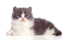 Beautiful gray Persian cat lying on the floor Stock Photo