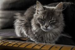 A beautiful gray Persian cat with a menacing gaze guards the daddy`s electric guitar stock photography