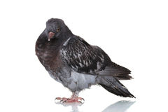 Beautiful gray pigeon Royalty Free Stock Photography