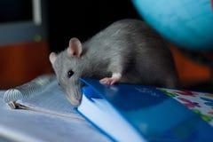 Beautiful gray rat Royalty Free Stock Image