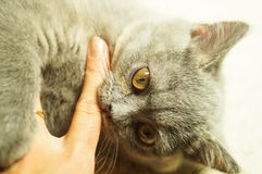 Beautiful gray scottish cat with yellow eyes lying on the carpet. And bites hand royalty free stock images
