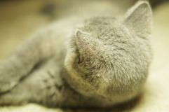 Beautiful gray scottish cat with yellow eyes lying on the carpet. Looking back stock photos