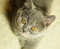Beautiful gray scottish cat with yellow eyes lying on the carpet. Looking up stock image