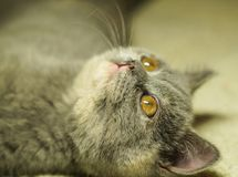 Beautiful gray scottish cat with yellow eyes lying on the carpet. Looking up royalty free stock image