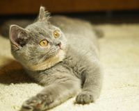 Beautiful gray scottish cat with yellow eyes lying on the carpet. With surprised eyes royalty free stock images