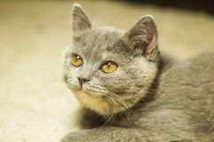 Beautiful gray scottish cat with yellow eyes lying on the carpet. With surprised eyes stock images