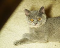 Beautiful gray scottish cat with yellow eyes lying on the carpet. With surprised eyes royalty free stock image