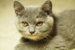 Beautiful gray scottish cat with yellow eyes lying on the carpet. With surprised eyes royalty free stock photo