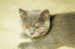 Beautiful gray scottish cat with yellow eyes lying on the carpet. With surprised eyes royalty free stock photos