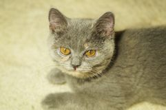 Beautiful gray scottish cat with yellow eyes lying on the carpet. With surprised eyes stock photo